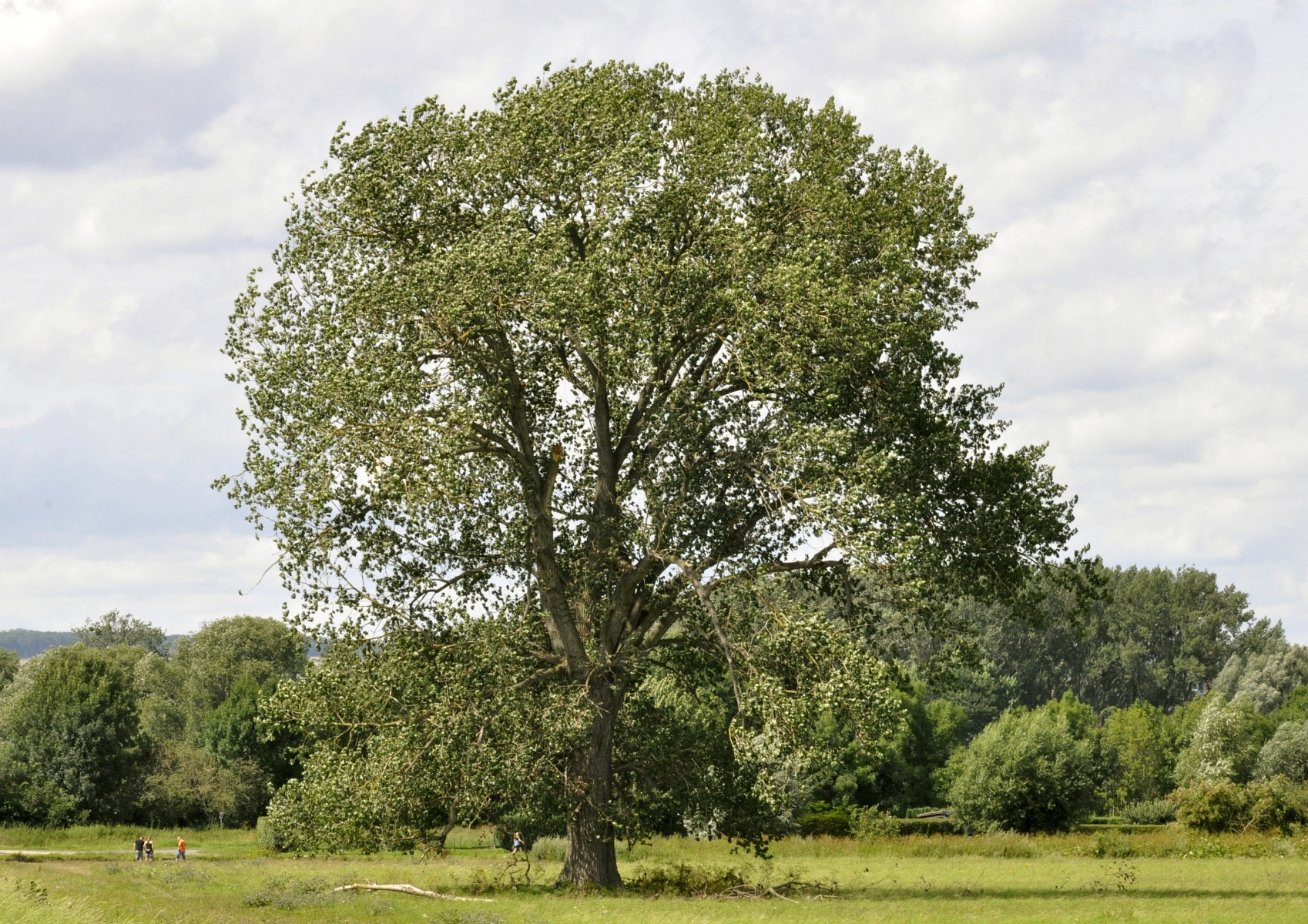 Populus nigra (Черни Тополи)