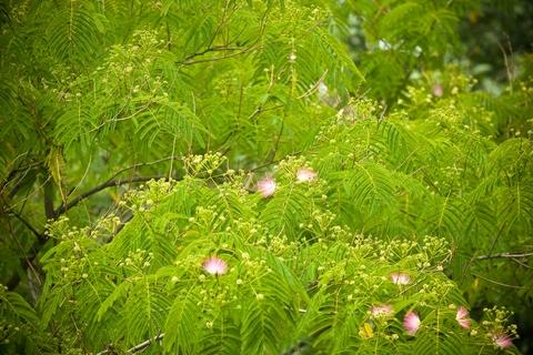 Albizzia julibrissima (Persian silk tree)