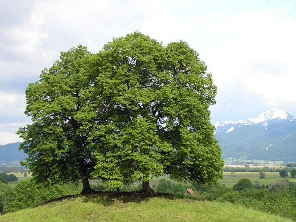 Tilia platyphyllos (Largeleaf Linden)