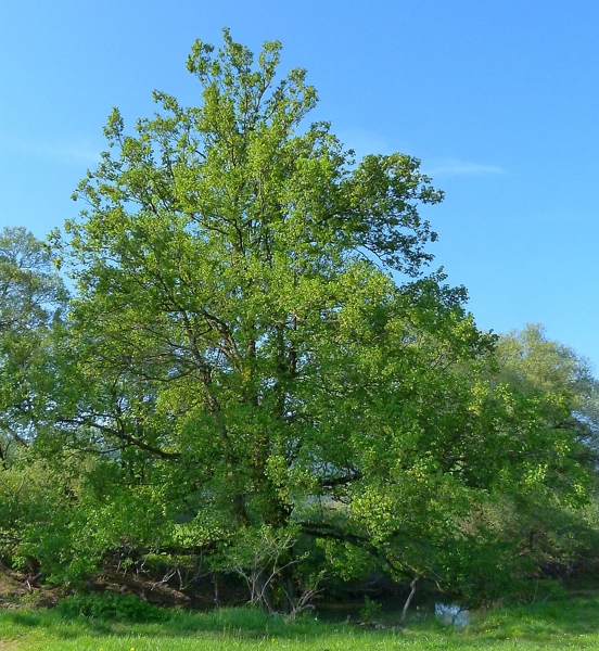 Ulmus laevis (European White Elm)