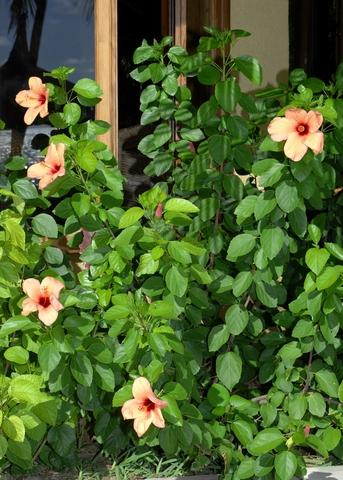 Hibiscus syriacus (Rose of Sharon)