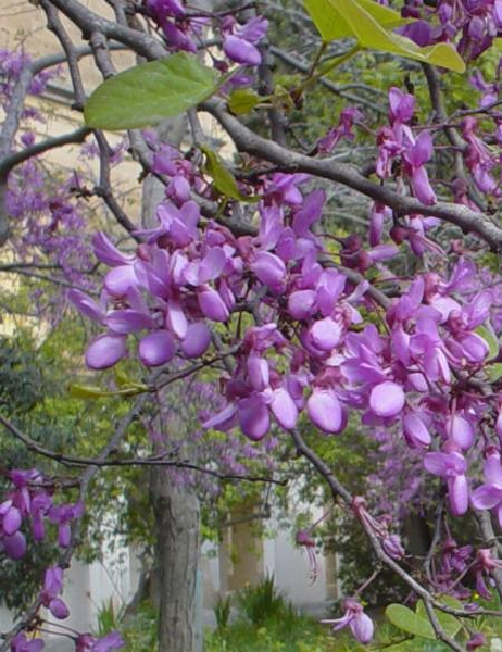 Cercis siliquastrum (Judus Tree)