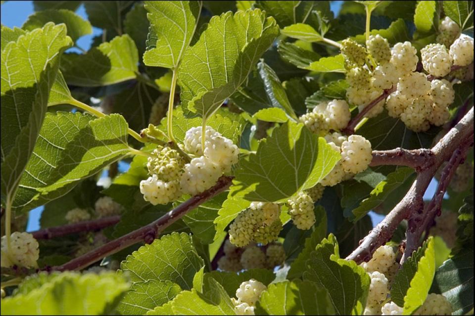 Morus alba (White Mulberry)