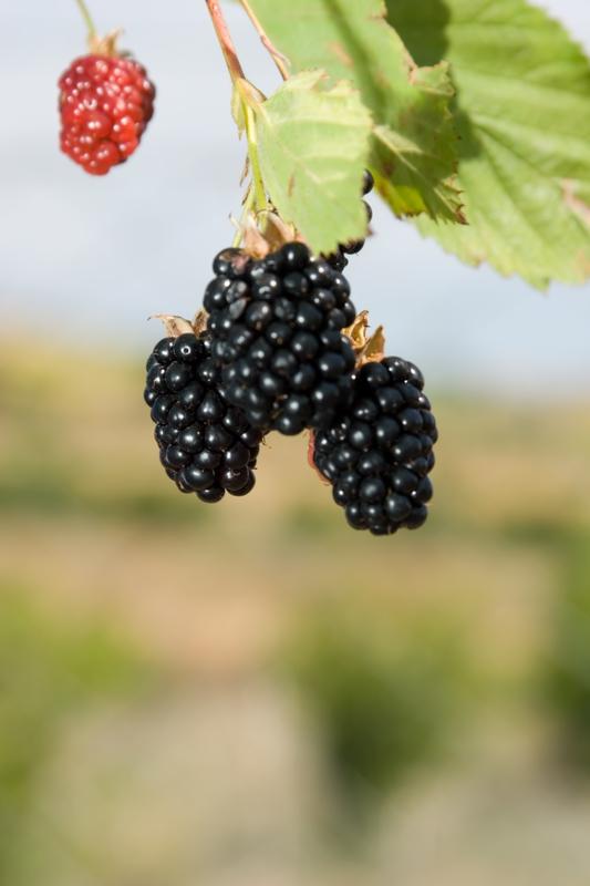 Morus nigra (Black Mulberries)