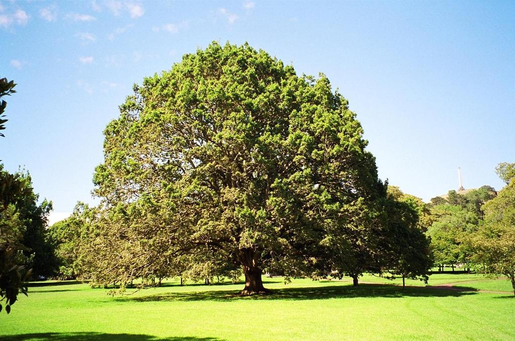 Quercus petraea & Quercus rubra (Зимен Дъб & Червен Дъб)