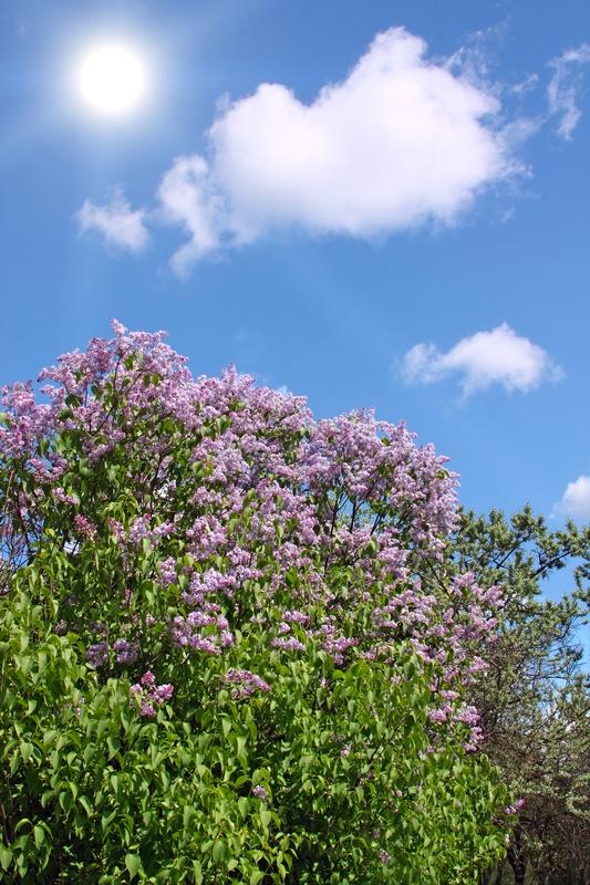 Syringa vulgaris (Lilacs)