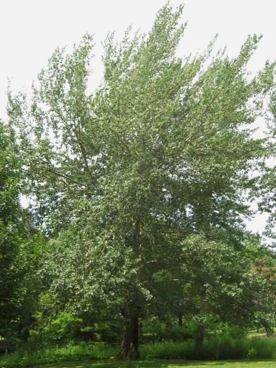 Populus alba (Silver Poplars)