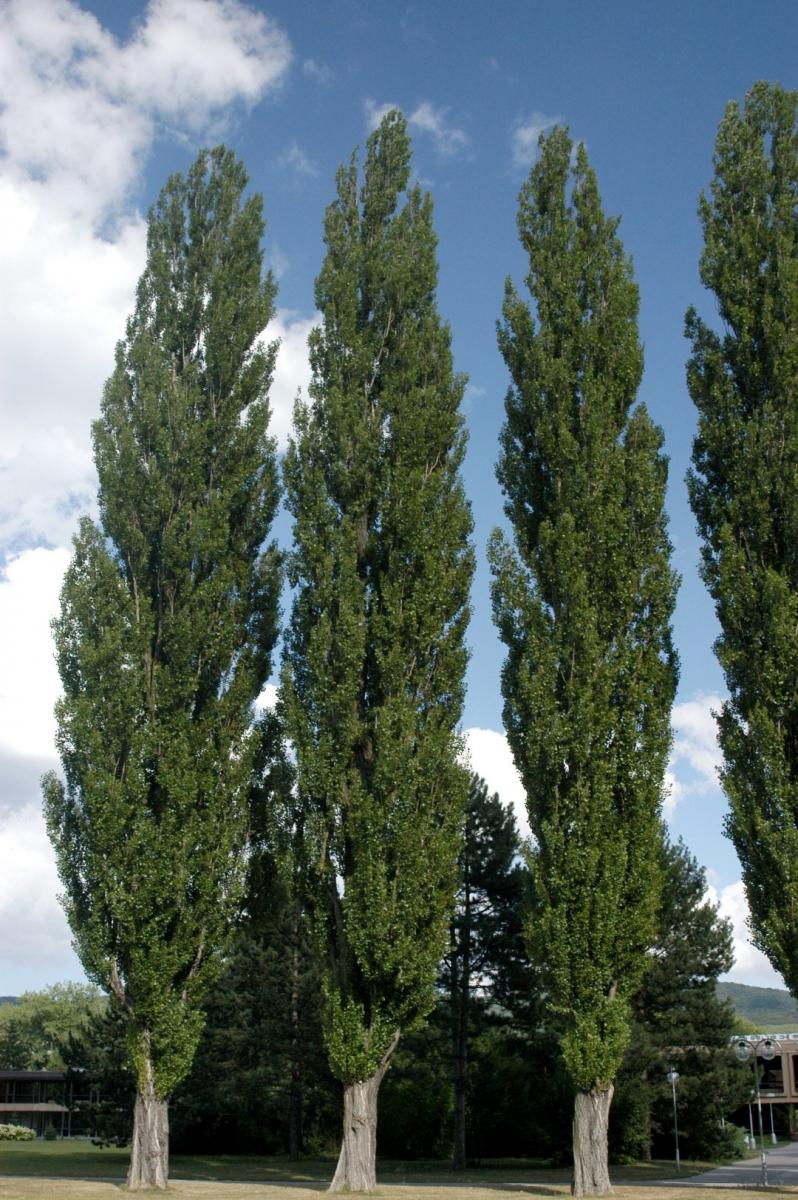 """Populus nigra var. """"Italica"""" (Бяли Тополи (кавак))"""