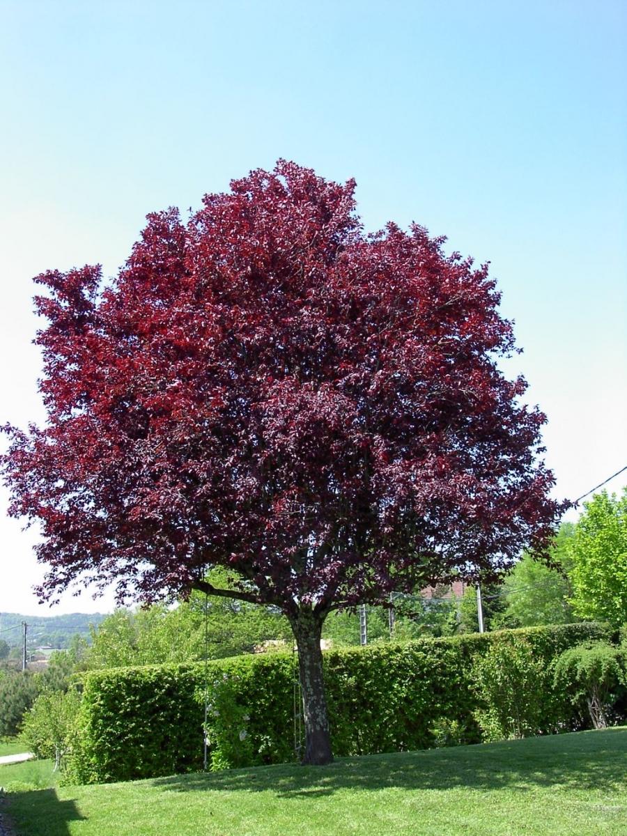 "Prunus cerasifera ""Nigra"" (Black Cherry Plum)"