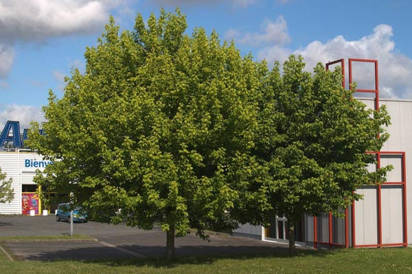 Acer negundo & Acer platanoides (Boxelder Maples & Norway Maples)