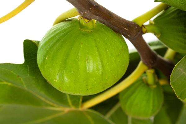 White Figs