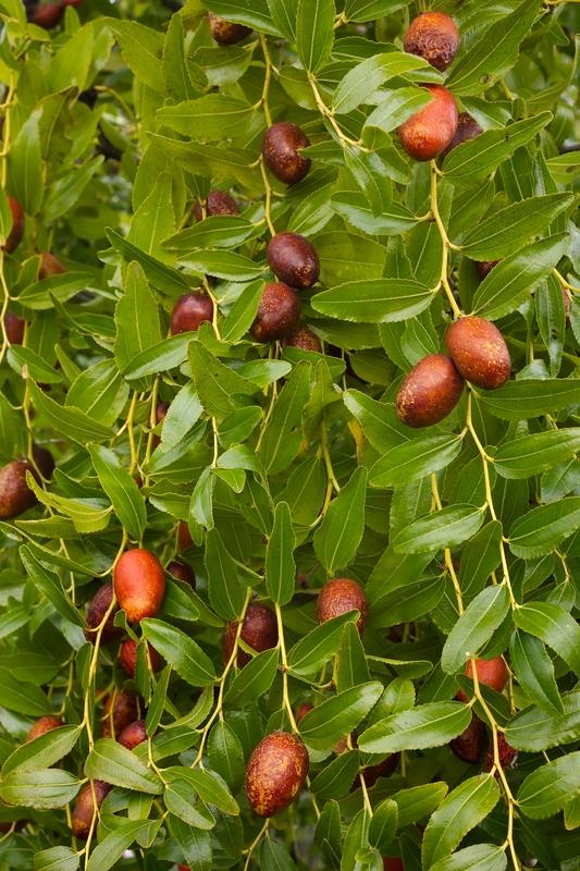 Elaeagnus angustifolia (Russian olive)