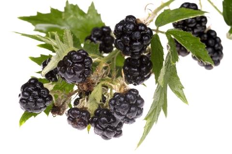 Rubus fruticosus (Blackberries)