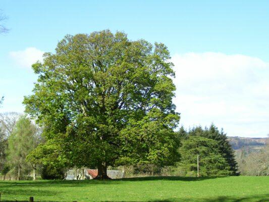 Platanus × acerifolia (Яворолистен Чинар)